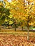 guld- tree för höst Royaltyfri Foto