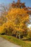 guld- tree för höstfalllövverk Arkivfoto