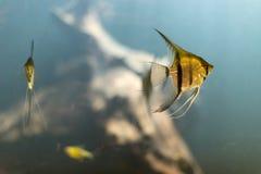 Guld- tropisk fisksimning under vatten Arkivfoto