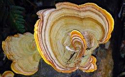 Guld- Turkiet svanssvampar (den Stereum ostreaen) Royaltyfria Bilder
