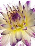 Guld--tusensköna Royaltyfri Bild