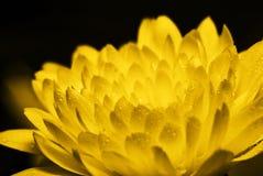 guld- tusensköna Fotografering för Bildbyråer