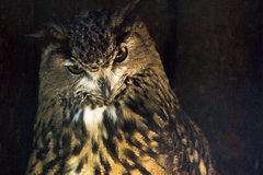 Guld- uggla på brun guld- mörk bakgrund Den kloka ugglafågeln ger advi Royaltyfri Foto