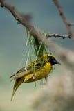 guld- vävare för fågel Arkivbild