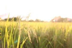 Guld- växt för risfältgulingris Thailändska jasminris och grönt fält bangkok thailand fotografering för bildbyråer