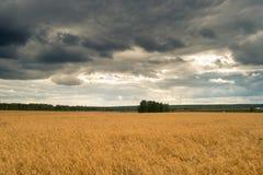 Guld- veteåker mot blå himmel Fotografering för Bildbyråer