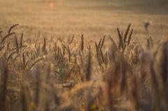 Guld- veteåkrar Arkivfoton