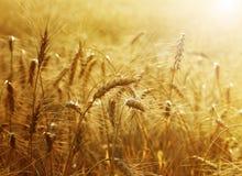 guld- vete för fält Arkivfoton