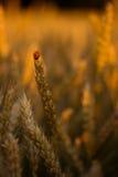 guld- vete för fält Royaltyfria Foton