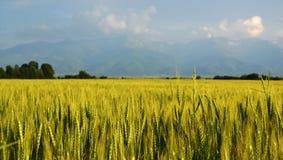 guld- vete för fält Arkivbilder