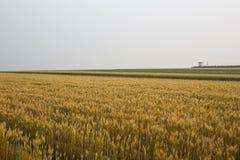 guld- vete för fält Royaltyfri Fotografi