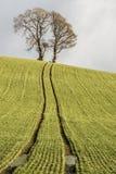 guld- vete för kornfält Fotografering för Bildbyråer