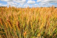 guld- vete för kornfält Royaltyfri Fotografi