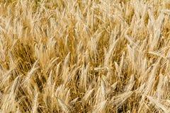 guld- vete för kornfält Arkivbilder