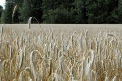 guld- vete för kornfält Arkivfoto