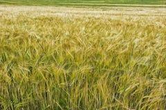 guld- vete för kornfält Royaltyfri Bild