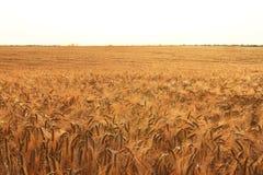 Guld- vete i fältet som översvämmas med solen Arkivfoton