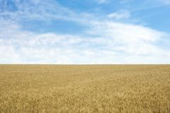Guld- vete i kornfält royaltyfri foto