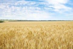 Guld- vete i kornfält royaltyfri bild