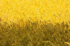Guld- vetefält fotografering för bildbyråer