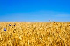 Guld- vetefält Arkivbild