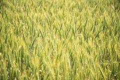Guld- vetefält i solljus Royaltyfri Fotografi