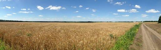 Guld- vetefält med bakgrunden för blå himmel Arkivfoton
