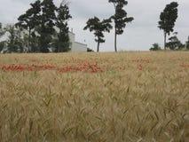 Guld- vetefält med den röda vallmo Arkivfoto