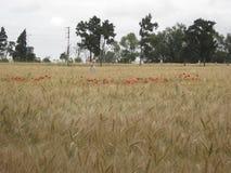 Guld- vetefält med den röda vallmo Arkivbilder