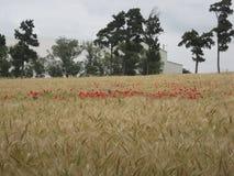 Guld- vetefält med den röda vallmo Royaltyfri Foto