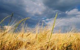 Guld- vetefält med stormig himmel arkivbild
