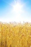 Guld- vetefält och blå sky Royaltyfri Foto