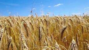 Guld- vetefält och himmel stock video