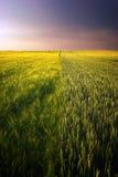 Guld- vetefält och purpurfärgad molnig himmel royaltyfria foton