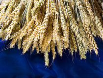 Guld- vetefält på blå bakgrund royaltyfri fotografi