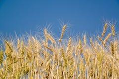 Guld- vetefält på den soliga sommardagen Arkivfoto