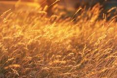 Guld- vetefält på solnedgången Slapp fokus Arkivfoto