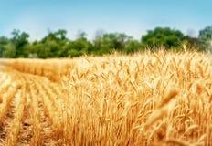 Guld- vetefält under blå himmel Fotografering för Bildbyråer