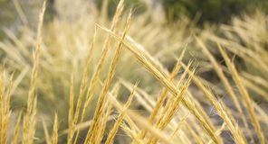 Guld- vetegrova spikar som är bakbelysta med naturligt solljus arkivbilder