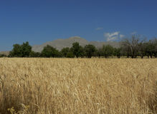 guld- wheaties Royaltyfri Fotografi