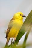 guld- white för fågelöga Arkivbild