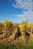 guld- wineyard Arkivfoto