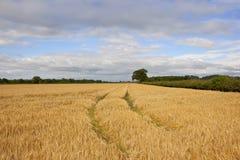 Guld- yorkshire korn och häckar Royaltyfri Foto