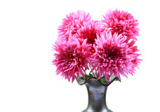 Guldaudi flowers. In flower pot isolated on white background Stock Image