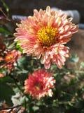 Guldaudi o flor del crisantemo foto de archivo