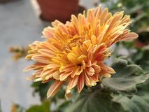 Guldawari-Blume lizenzfreie stockfotos