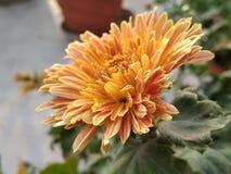 Guldawari kwiat zdjęcia royalty free