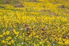 Guldfältvildblommor som blommar på slingrande jord i södra San Francisco Bay, San Jose, Kalifornien arkivfoton