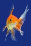 Guldfisk Royaltyfria Foton