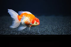 Guldfisk. Arkivfoton